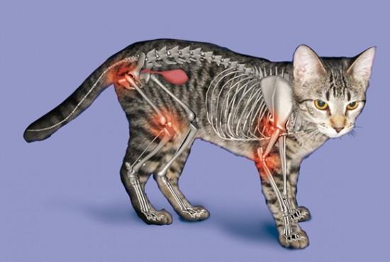 cat arthritis joints