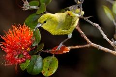 Mauka to Makai Bird