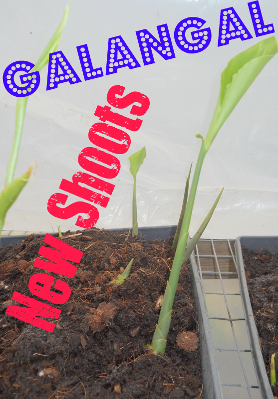 Galangal.Presprout.2012