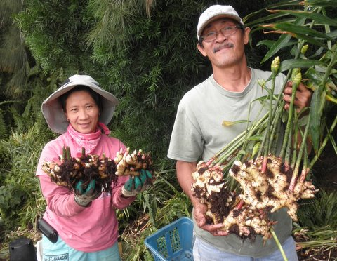 Ginger harvest in Hawaii