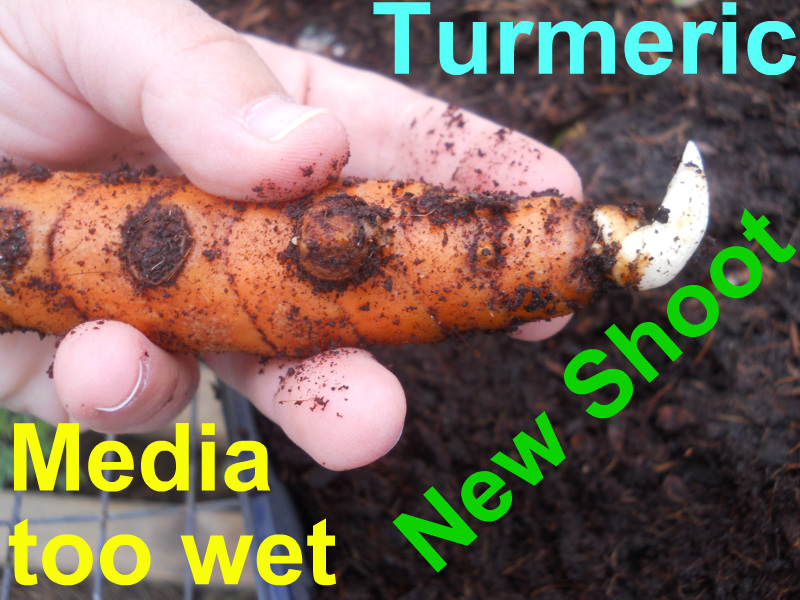 Turmeric.Presprout.2012