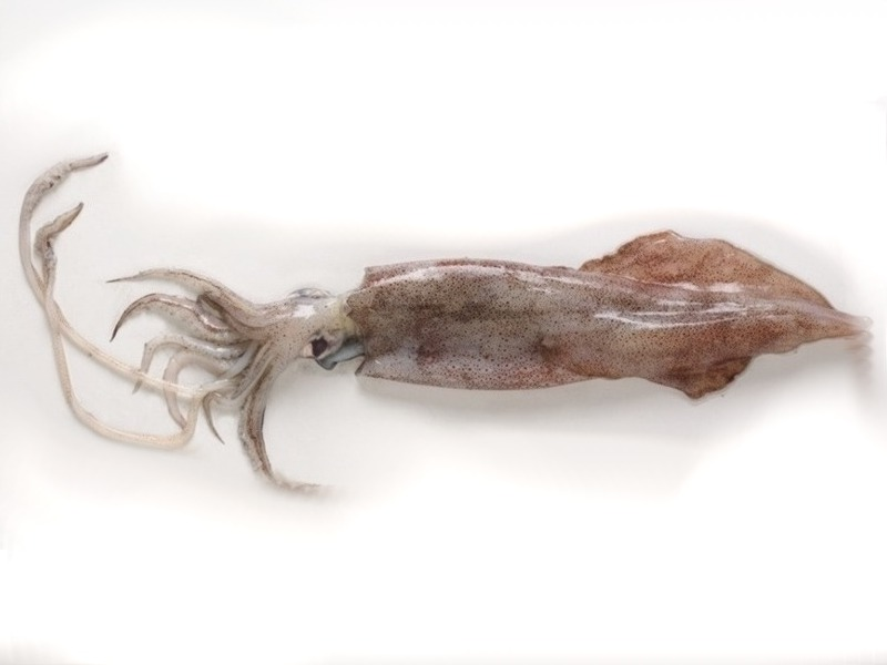 Rhode Island squid