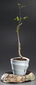 vase_tree