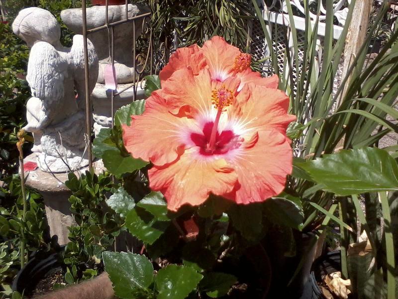 hibiscus new