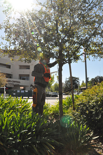 Cal Ave pruning Dave Muffly