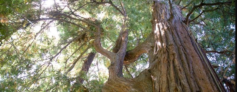 The canopy of El Palo Alto