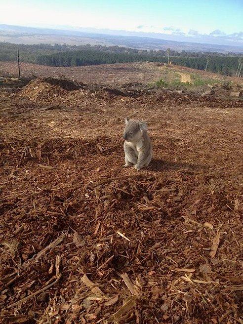 Koala loses home