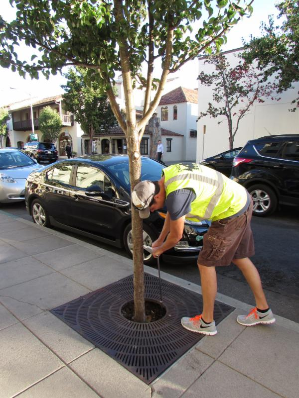 Probing moisture on young street tree