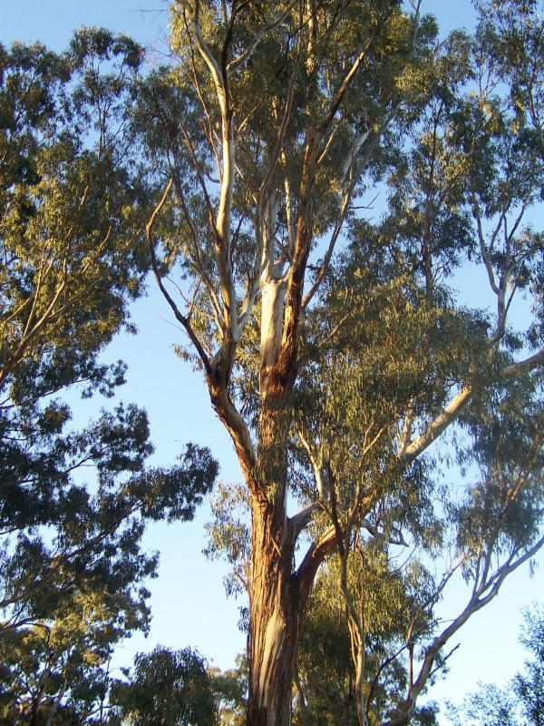 Eucalyptus debate