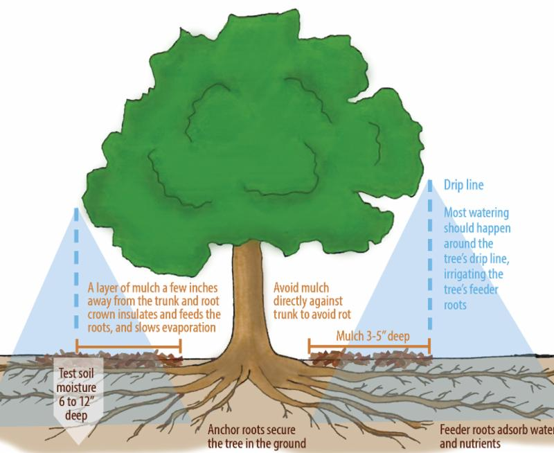 Tree care diagram: click for full brochure