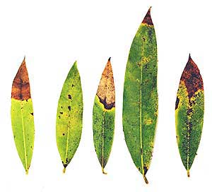 infected bay laurel leaves
