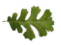 Valley Oak Leaf