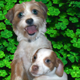 Dogs on shamrock