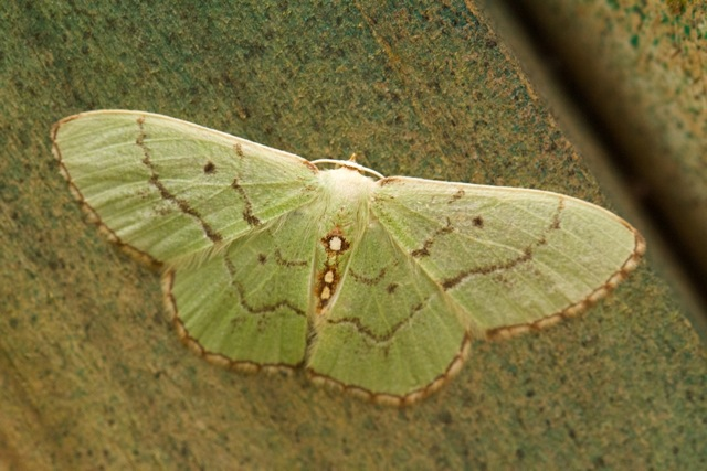 Red-bordered emerald moth