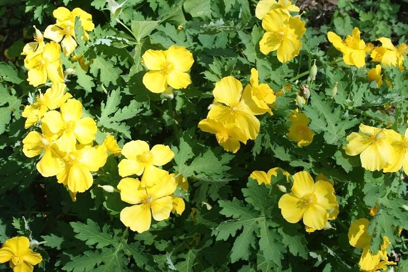 Your april newsletter from tennessee valley chapter of wild ones poppy or yellow wood poppy is a 12 14 in perennial with gray green lobed and toothed leaves is known for its large poppy like yellow flowers mightylinksfo