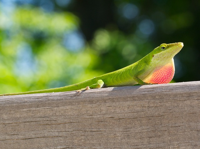 Male anole