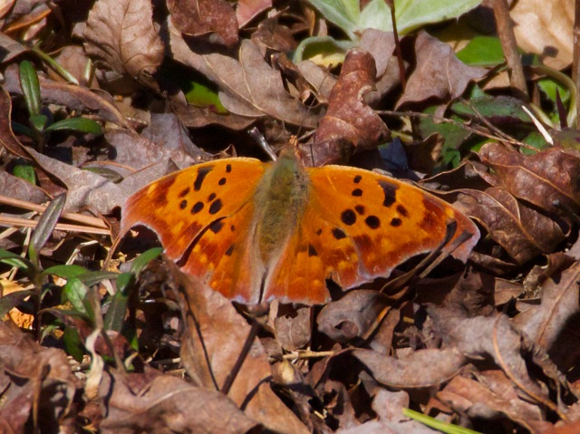 first Yard  butterfly 2016, (02.19.16)