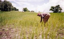 Julius Kachali in rice field
