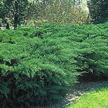 Juniper shrub