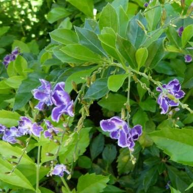 Duranta with purple flowers