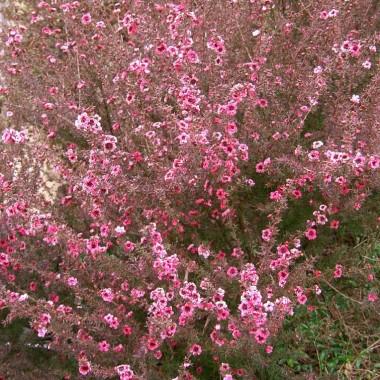 Pink tea trees shrub