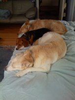 3 Dogs sleeping