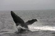 Whale breach Alaska 2007