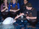 Beluga feeding