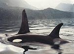 PNW Killer Whales
