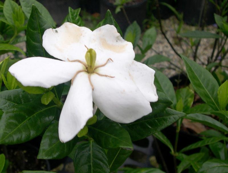 gardenia hardy