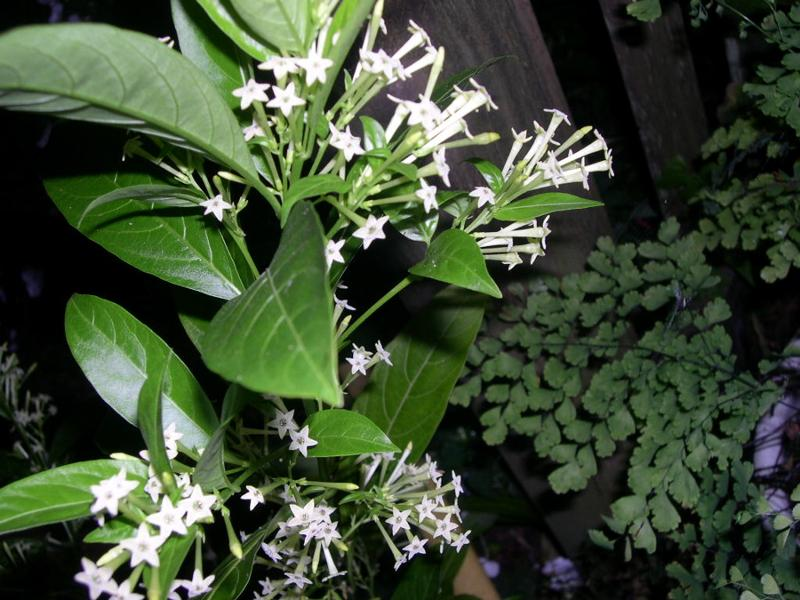 night blooming jessamine