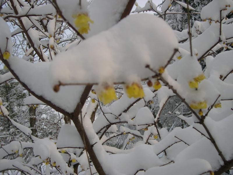 winter sweet in snow