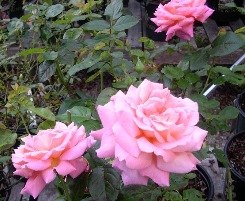 rose floribunda rose