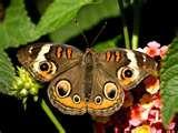 lantan butterfly