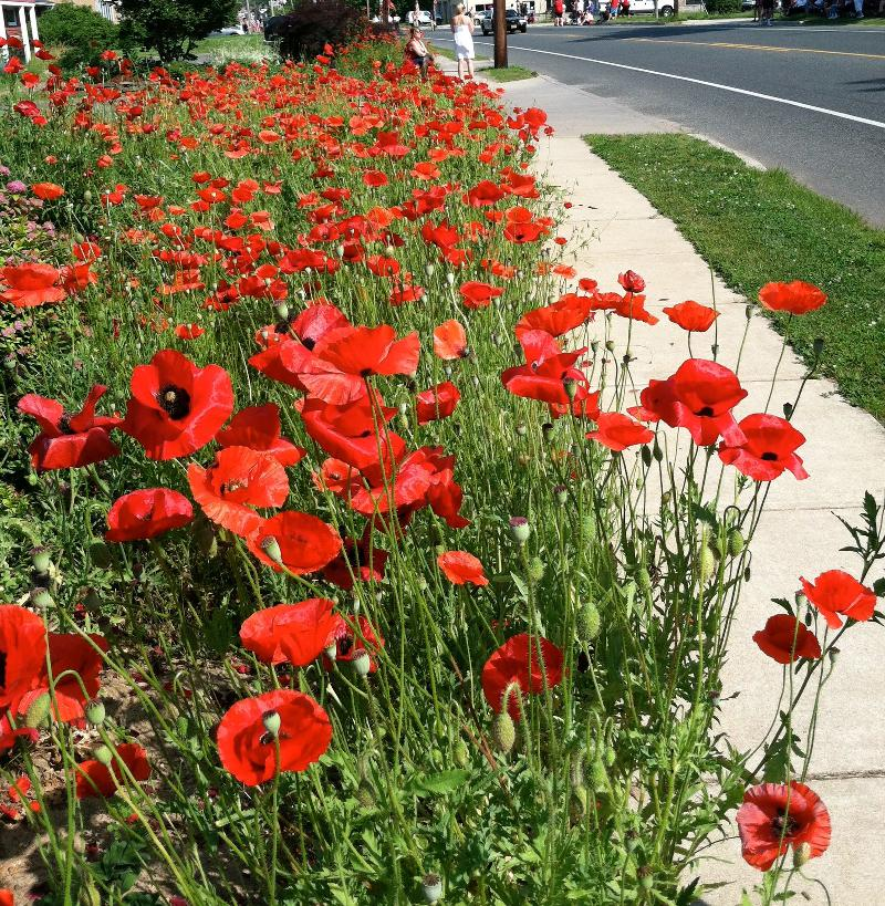 poppies drive