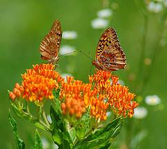 butterfly fritilallia