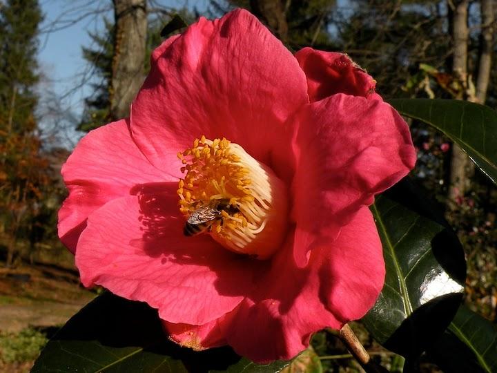 Camellia Spring Promise