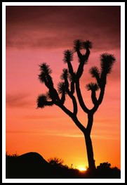 Cactus against sunset