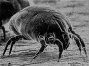 Dust Mite 175x130