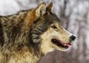 wolf0717