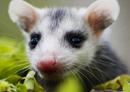 opossum1114