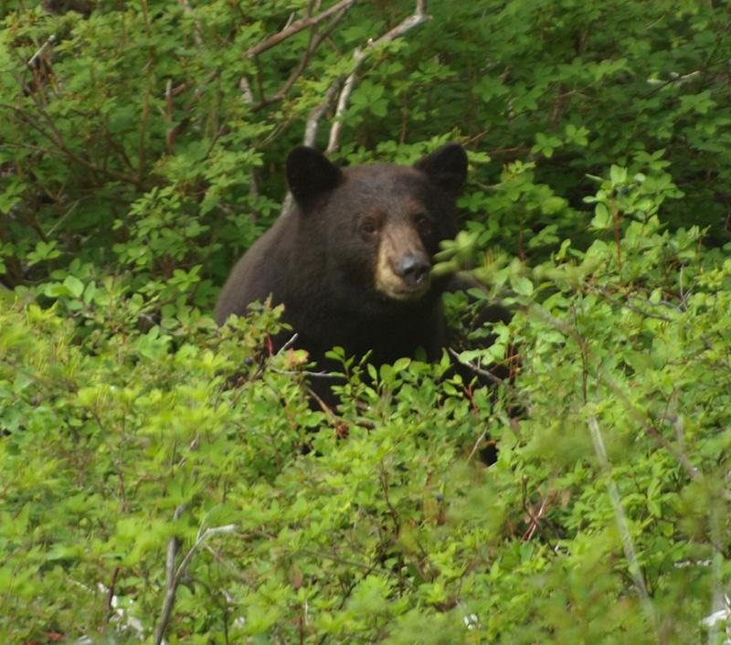 Black bear in brush