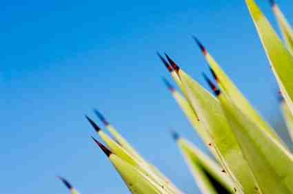 Cactus Tips