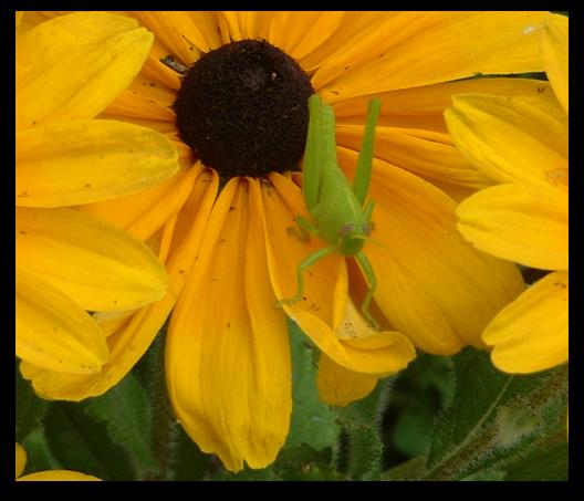 Our Grasshopper Friend...