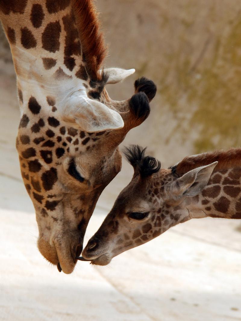 SB ZOO Giraffes