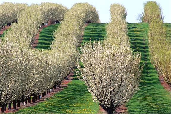 Orchard Image
