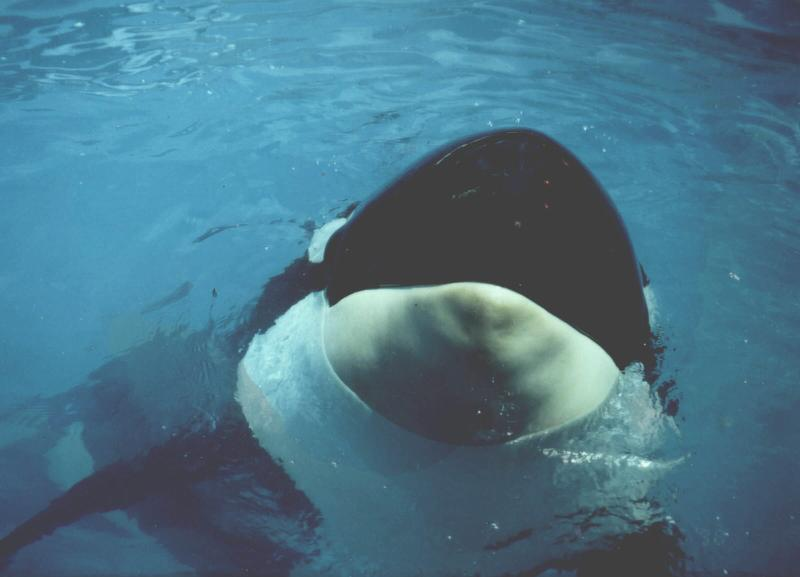 Tokitae looking up at us from her tank in Miami, FL in the late 1990s