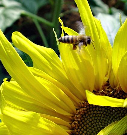 Bee on Sunflower 1