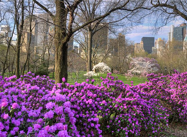Azeleas in bloom in Central Park in the early spring