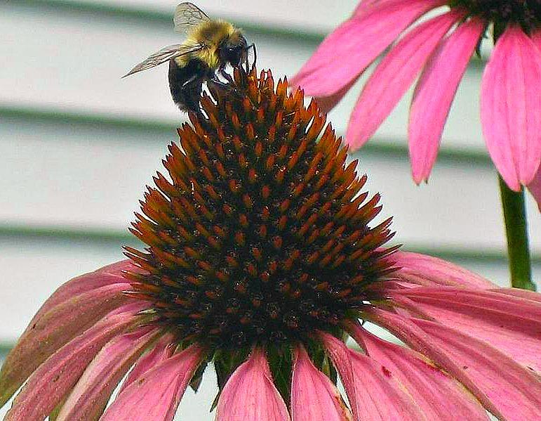 Bee on Echinacea 2